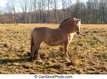 fjord horse - islandic horse or fjord horse in a meadow