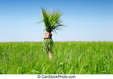 Human hand holding bundle of the green wheat ears on blue...