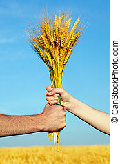 Human and woman hands holding bundle of the golden wheat...