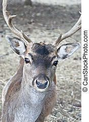 deer in forest closeup - Portrait of majestic powerful adult...