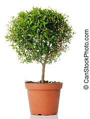 Myrtus - Small domestic tree isolated over white