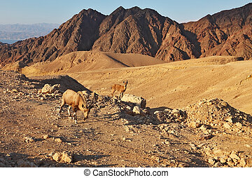 The wild goats in mountains of Eilat - Family wild mountain...
