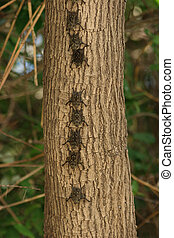 Colony of Brazilian Long-nosed Bats Rhynchonycteris naso...