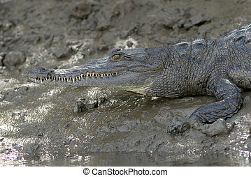 Common Caiman - Costa Rica - Common Caiman (Caiman...