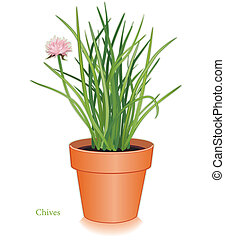 Chives Herb in Clay Flowerpot - Chives herb plant in clay...