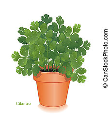 Cilantro Herb in Clay Flowerpot