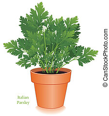 Italian Parsley Herb in Flowerpot - Italian or flat leaf...