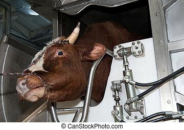bull before slaughter