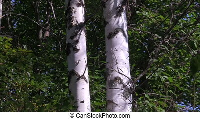 birches - forest, summer, two young birches