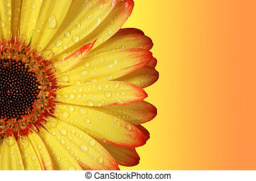 Gerber Daisy, orange and yellow colors.  Close up.