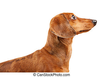 short haired Dachshund Dog