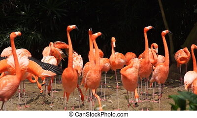 Pink flamingos - close-up