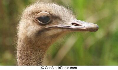 Ostrich head - close-up