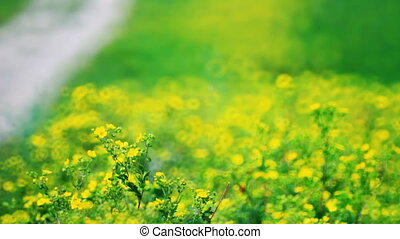 Vibrant yellow buttercup flowers on the meadow