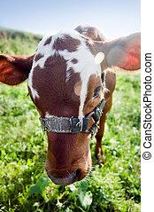 Funny cow portrait in green field