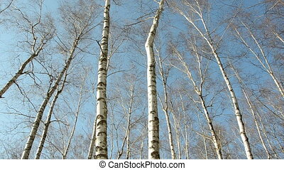 early spring birches in the forest and sky