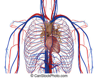 Heart, arteries and veins