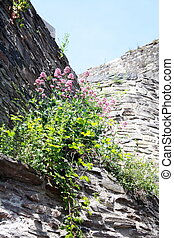 Blooming flowers on a old castle wall