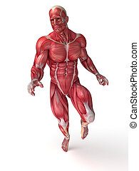 Males muscle anatomy