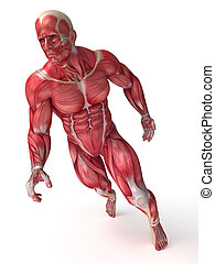 Males muscles system