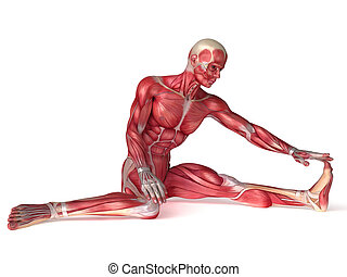 Males muscles anatomy