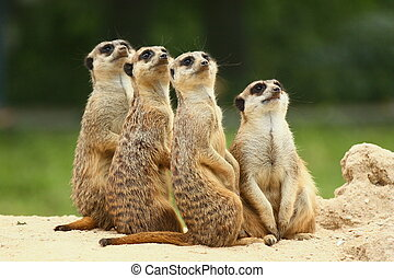 Group of standing Meerkats - Meerkats all sit together and...