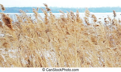 grass - dry grass, winter