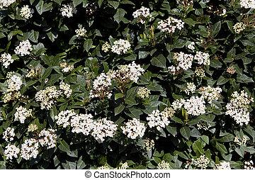 viburnum tinus - evergreen viburnum tinus bush flowering in...