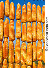 corn in row