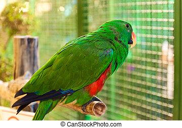papuga, drzewo, amazonka, gałąź, Czerwony-lored