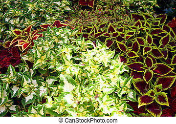 Coleus Blumei Solenostemon scutellarioides defferent kinds...