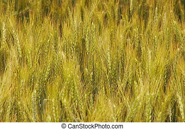 Yellow barley harvest background