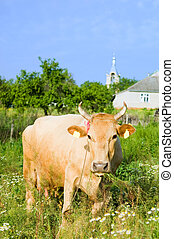 Funny cow in a pasture