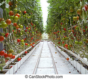 Tomatoes - Rows of Tomatoes in a Greenhouse