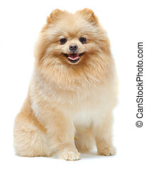 Portrait of sitting pomeranian spitz isolated on white