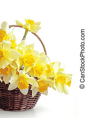 Bunch of fresh narcissuses in a basket on a white background