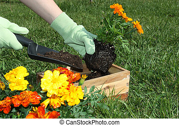 Potting Flowers - Potting flowers outdoors during spring