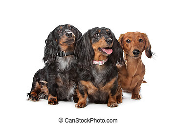 dachshund dogs - three dachshund dogs in front of a white...