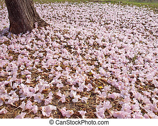 Pink trumpet tree - Flower of pink trumpet tree falling on...