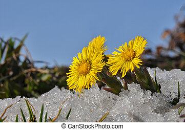 Coltsfoot in snow - Norwegian springtime, Coltsfoot in snow