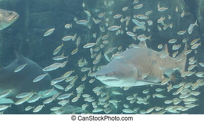 Ragged tooth shark - Large ragged tooth shark (Carcharias...