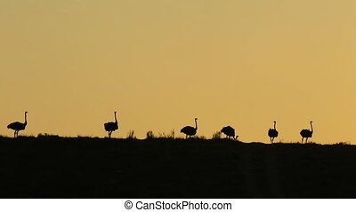 Ostrich silhouettes - Landscape with ostriches Struthio...