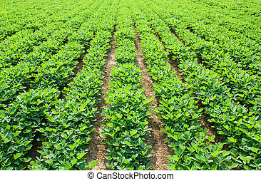 Peanuts fields - Growth in the fields of peanut seedlings in...