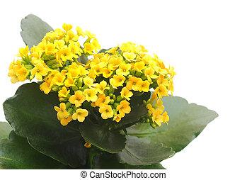 flower Kalanchoe - houseplant yellow Kalanchoe on white