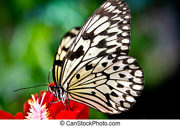 the paper kite butterfly, Rice Paper or Large Tree Nymph,...