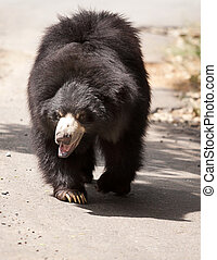 black bear - bear walking in sunshine