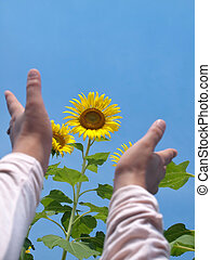 Reaching out to sunflowers - Woman hands reaching out to...