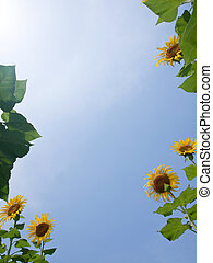Natural frame of sunflowers with leafs against blue sky with...