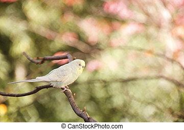 Pale Parakeet