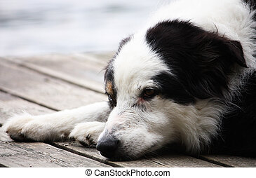 Worn Out - A tired wet dog lays his head down on the dock...